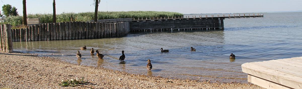 Enten in Weiden am Neusiedler See